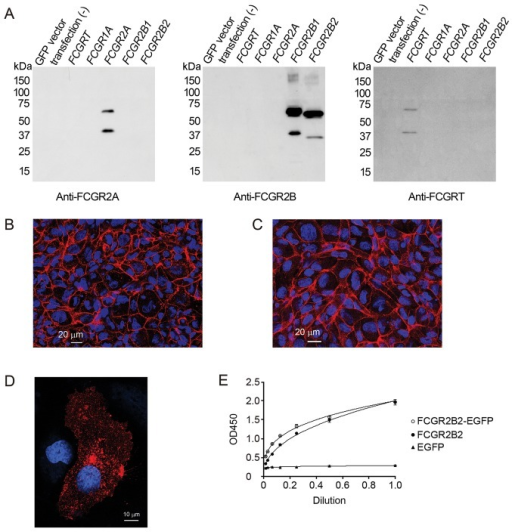 Validation of antibodies and characterization of pFCGR2B2-EGFP-transfected human umbilical vein endothelial cells (HUVECs). (A) Validation of antibodies. The anti-FCGR2A, anti-FCGR2B and anti-FCGRT antibodies used in this study were validated by western blot analysis. Lysates of Cos-7 cells transfected with a plasmid designed to overexpress EGFP or EGFP-tagged FCGRT, FCGR1A, FCGR2A, FCGR2B1 or FCGR2B2 were used for this validation. The upper band in each lane corresponds to an EGFP-conjugated Fc receptor and the lower band corresponds to an Fc receptor without EGFP. (B and C) Representative immunofluorescence images of CD31 and CD144 in HUVECs plated on cell culture inserts. (B) CD31 and (C) CD144 are localized along the lateral membrane of adjacent cells. (D and E) Comparison of the subcellular localization and IgG binding property of FCGR2B2-EGFP with those of FCGR2B2. (D) Representative immunofluorescence image of a pFCGR2B2-transfected HUVEC. FCGR2B2 signals are detected as intracellular vesicular and tubular structures; some signals are also present on the cell surface. Note that a pFCGR2B2-EGFP-transfected cell (Fig. 2A) shows similar localization of FCGR2B2 in the pFCGR2B2-transfected cell. (E) The affinities of human IgG for FCGR2B2-EGFP and FCGR2B2 detected by enzyme-linked immunosorbent assay (ELISA). FCGR2B2-EGFP (white circles) shows an almost identical affinity for FCGR2B2 (black circles). By contrast, EGFP from mock-transfected pEGFP-N1 cells do not exhibit selectivity for IgG (black triangles). Three independent experiments were performed; error bars represent the means ± SD. FCGR2B2, low-affinity immunoglobulin gamma Fc region receptor IIb2.