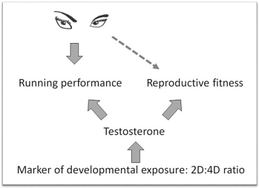 Conceptual diagram outlining a potential mechanism by which hunting success and running performance act as a signal of reproductive fitness.