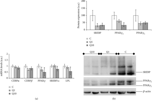 Effects of 1 and 10 μM of quercetin (Q1 and Q10) on gene expression of CEBPβ, CEBPα, PPARγ, SREBF1c, and LPL (a) and on protein expression of PPARγ1, PPARγ2, and SREBP1 (b) in 3T3-L1 maturing preadipocytes treated from day 0 to day 8. Values are means ± SEM. Comparisons between each treatment and the controls were analyzed by Student's t-test. The asterisks represent differences versus the controls (*P < 0.05; **P < 0.01).