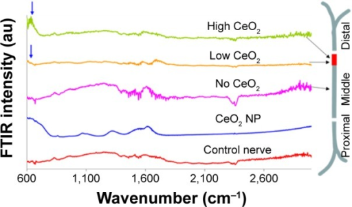 FTIR traces from different regions of CeO2-treated sciatic nerve of the frog.Notes: Arrows indicate CeO2 presence compared to control (CeO2 NP). Peaks approximately 1,640 cm−1 are attributed to the ν2′ band of the hydrogen bond of water.Abbreviations: FTIR, Fourier transform infrared microscopy; NP, nanoparticle.