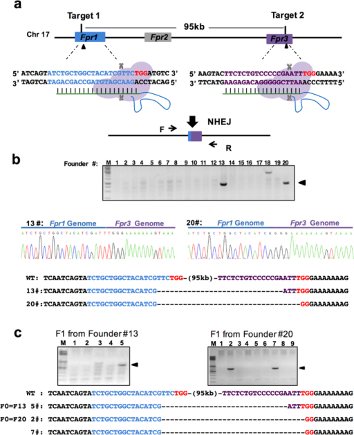 Deletion of the Fpr1-3 gene cluster by two sgRNAs spanning 95 kb.(a) Schematic overview of the strategy to delete a 95 kb DNA fragment on chromosome 17. The exons Fpr1 and Fpr3 are labeled in blue and purple respectively, and the target sites are indicated by arrowheads. PAM sequences are in red following the target sequence highlighted in blue or purple. After deletion of the DNA fragment, the resulting genomic sequence is composed of the 5′ part of Fpr1 (blue) and the 3′ portion of Fpr3 (purple). The locations of PCR primers (F, Forward; R, reverse) are indicated by arrows. (b) (Top) Genotyping of the founders. PCR analysis of F0 mice injected with Cas9 protein and sgRNAs listed in (a). Arrowheads indicate the founders with deletion of the 95 kb genomic DNA fragment. (Below) Sequencing data of the PCR products from two founders showing the joint Fpr1/Fpr3 genomic sequence. M, DNA marker. (c) Genotyping analysis of F1 progenies from two founders showing germ line transmission of the 95 kb deletion. M, DNA marker.