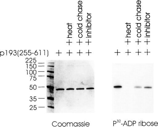 The catalytic subunit of p193 is a PARP that ADP-ribosylates itself. The catalytic domain of p193 (255–611) was expressed and purified from E. coli. In vitro assays containing p193 (255–611) were incubated in the presence of [32P]NAD+ and the products separated by SDS-PAGE followed by Coomassie blue staining (left panel) and by autoradiography (right panel). Reactions contained 1 μg of p193 (255–611) and 1.3 μM [32P]NAD+. Preincubation of p193 (255–611) at 65°C for 10 min before the addition of labeled NAD+ inactivated the activity (heat). Reactions were supplemented with either 1 mM unlabeled NAD+ (cold chase) or with 1 mM 3ABA, the PARP inhibitor (inhibitor).