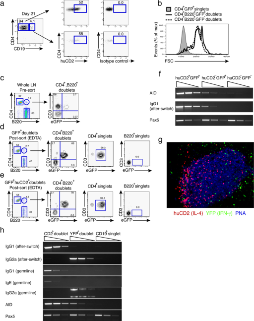 B–T conjugates regulate immunoglobulin class-switching(a) Mice were infected with L. major and draining lymph nodes were harvested 21 days after infection. HuCD2 (IL-4 secretion) expression on GFP+ CD4+ T cells or B–T cell conjugates gated in leftmost panel are indicated by arrows in the four panels of which the first panels denote staining with anti-human CD2 and the right panels denote staining with an isotype control antibody. Plots are representative of at least six experiments (n = 2–4 mice per experiment).(b) Size as marked by forward-size scatter of GFP+, CD4+, B220+ co-expressing conjugates compared to GFP+ singlet or GFP− doublet cells in the draining lymph node of KN2 × 4get mice.(c) Gating scheme of CD4+ T cell and B cell doublets in the draining lymph node of L. major-infected KN2 × 4get mice prior to sorting. All GFP+,CD4+, B220+ cells express the T cell receptor-associated CD3 marker.(d) GFP+, CD4+, B220+ doublets sorted from (a) were treated with 2 mM EDTA post-sort and reanalyzed by flow cytometry. Plots are representative of combined lymph nodes from at least two independent experiments (n = 2–3 mice).(e) huCD2+, CD4+, B220+ doublets sorted from (a) were treated with 2 mM EDTA and reanalyzed by flow cytometry. Plots are representative of combined lymph nodes from at least two independent experiments (n = 2–3 mice).(f) B–T cell conjugates from KN2 × 4get dual reporter mice were sorted 14 days after L. major infection from draining popliteal lymph nodes and semi-quantitative RT-PCR was performed for expression of AID and IgG1-post-switch transcripts. cDNA from GFP+; GFP+, huCD2+; or GFP−, huCD2− CD4+ B–T cell conjugates was normalized to Pax5 expression to ensure equivalent amounts of B cell cDNA was added per reaction. Gels are representative of at least two independent experiments with cDNA at 3 serial dilutions.(g) 200x image from section of the draining popliteal lymph node from KN2 x great mice 14 days after L. major infection. huCD2 (Red, IL-4-secretion), YFP (green, IFN-γ-competence), PNA (blue, germinal centers). Image is representative of 6 lymph nodes from at least two independent experiments.(h) B–T cell conjugates from KN2 x great dual reporter mice were sorted 14 days after L. major infection from draining popliteal lymph nodes and semi-quantitative RT-PCR was performed for expression of AID, IgG1 and IgG2a switch and germline transcripts. cDNA from YFP+ or huCD2+ CD4+, CD19+ B–T cell conjugates or GFP−, huCD2−, CD4−, CD19+ singlets was normalized to Pax5 expression to ensure equivalent amounts of B cell cDNA was added per reaction and gels were loaded with 3 serial dilutions of cDNA. Gel is representative of at least two independent experiments with cDNA used at three serial dilutions.