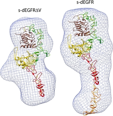 Low-resolution molecular envelopes from SAXS studies of s-dEGFRΔV (left) and s-dEGFR (right). The envelopes (blue), created after kernel convolution with pdb2vol, readily accommodate the Situs-docked crystallographic models (see text). The graphic, kindly provided by Diego Alvarado and Mark Lemmon, emphasizes interior domain details; see also Fig. 2b in Alvarado et al. (2009)