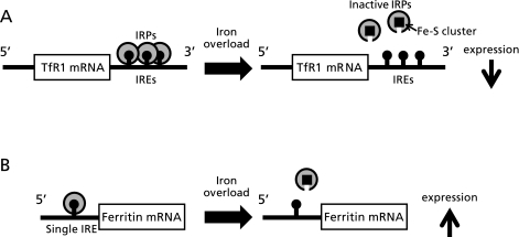 The IRP-IRE regulatory system. A: Regulation of TfR1; at the high level of iron, the IRPs binding with multiple IREs in the 3' UTRs of TfR1 mRNA promotes TfR1 mRNA's translation via mRNA stabilization. B: Regulation of ferritin; the IRP binding with the single IRE in the 5' UTRs of ferritin mRNA blocks the translation of ferritin message. In iron overload, the IRP contained the Fe-S cluster cannot bind with the IRE in the 5' UTRs of ferritin mRNA, resulting in the increased translation of ferritin message.