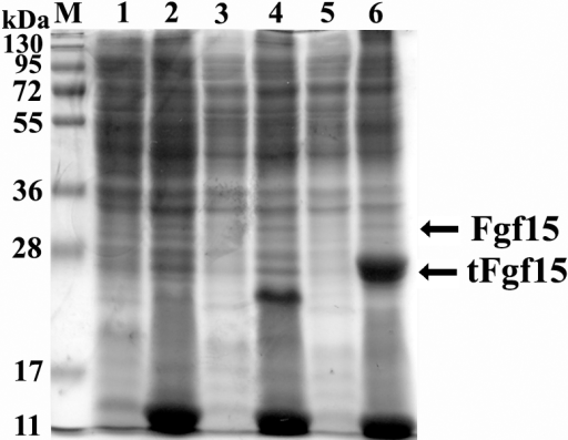 Expression of Fgf15 with or without N-terminal signal peptide in E. coli.M: protein molecular weight marker, lane 1: soluble lysate fraction from E. coli containing pET28a(+), lane 2: insoluble lysate fraction from E. coli containing pET28a(+), lane 3: soluble lysate fraction from E. coli containing pET/Fgf15, lane 4: insoluble lysate fraction from E. coli containing pET/Fgf15, lane 5: soluble lysate fraction from E. coli containing pET/tFgf15, lane 6: insoluble lysate fraction from E. coli containing pET/tFgf15.