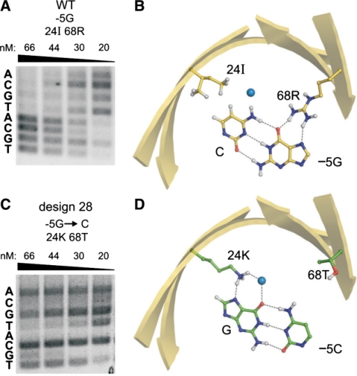 Designs with altered cleavage specificity at a target site position. (A) Native mCreI preferentially cleaves target sites with −5G, and to a lesser extent −5A followed by −5C or T. (B) Recognition of the −5 position by native mCreI is mediated by 2 contacts made by residue 68R to −5G, and non-polar contact of 24I with the complementary C. (C) Design 28 cleaves −5C to near-completion even at 20 nM, with minor activity on −5T. (D) Recognition of −5C in Design 28 is mediated by 24I→K that contacts to the complementary G at −5, and by 68R→T that prevents potentially deleterious contacts with −5C. Designs with comparably altered specificities are referred to as Class II designs.