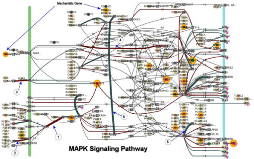 "MAPK pathway network model for bovine host infected with Salmonella enterica Typhimurium (STM). The model is trained and then used to score the pathway and individual genes. This figure is the MAPK pathway as a screen capture taken from BioSignatureDS™ user interface. This figure is a snapshot of the perturbed state of the MAPK pathway at 60 minutes post infection for the STM-Host condition. Mechanistic genes are encircled with an orange ring. In the pathway, genes aligned along the green vertical bar are typically receptor/membrane related, and those on the blue bar are nucleus related. Gene nodes with an attached ""TF"" subscript are transcription factors or transcription factor related. The arcs connecting genes are coded to indicate the correlation between connected genes. Brown arcs indicate positive correlation while turquoise arcs represent negative correlations, and the thickness of the arc indicating the magnitude of correlation. Arcs with an encircled number and arrow correspond to those arcs labeled accordingly in Table 1."