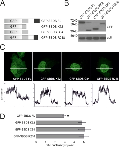 SDS-patient SBDS proteins are localized to the nucleus.(A) Schematic overview of the GFP-tagged SBDS constructs (B) Western blot analysis shows that GFP-tagged SBDS proteins have the expected molecular sizes of 59 kDa, 36 kDa, 39 kDa and 54 kDa for the GFP-SBDS-FL, GFP-SBDS-K62, GFP-SBDS-C84 and GFP-SBDS-R218 respectively. (C) Representative pictures of the intracellular localization of the GFP-tagged SBDS proteins. Bottom panel shows the GFP fluorescence intensity plots measured as indicated in the corresponding cells in the top panel. (D) Average ratio of the nuclear/cytoplasmic GFP fluorescence intensity for the different GFP-tagged constructs Asterisk indicates that the localization of the GFP-SBDS-FL is statistically significant different (p<0.001) from the SDS-patient GFP-SBDS proteins. Error bar indicates s.e.m.(FL n = 42 cells, K62 n = 52 cells, C84 n = 37 cells, R218 n = 33 cells analysed in 3–5 independent experiments).