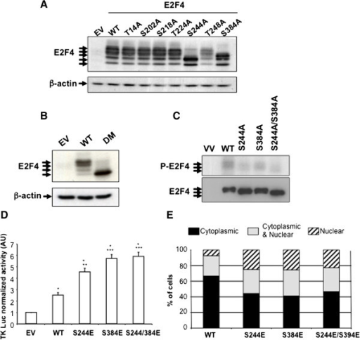 Phosphorylation of E2F4 on serines 244 and 384 promotes its transcriptional activity. A. and B. 293T cells were transfected with pCDNA3.1 empty vector (EV) or encoded for HA-tagged- human wild-type (WT) E2F4 or E2F4 mutants as indicated. After 48 h, cell lysates were analyzed for the expression of E2F4 proteins. C. 293T cells were transfected with EV or encoding for HA-E2F4 WT, HA-E2F4 S244A, HA-E2F4 S384A or HA-E2F4 S244A/S384A. After 48 h, cells were lysed and immunoprecipitated with anti-HA antibody. Kinase assays were performed by incubating beads containing HA-E2F4 immune complexes with recombinant ERK1 for 5 min. Radiolabeled proteins were separated on SDS-PAGE and autoradiographed or analyzed for the expression of E2F4. D. 293T cells were co-transfected with DP2, thymidine kinase luciferase reporter with either empty vector, HA-wtE2F4, HA-E2F4 S244E, HA-E2F4 S384E or HA-E2F4 S244/S384E. pRL-SV40 Renilla luciferase reporter control vector was also co-transfected. Forty-eight hours following transfection, luciferase activity was quantified and normalized using the Renilla reporter, with the empty vector condition set at 1. A representative experiment of three experiments is shown. *Significantly different from control at p < 0.001, **Significantly different from WT at p < 0.002, ***Significantly different from WT at p < 0.001 (Student's t test). E. HIEC grown on coverslips were transfected with either empty vector, HA-wtE2F4, HA-E2F4 S244E, HA-E2F4 S384E or HA-E2F4 S244/S384E. After 48 h, cells were analyzed by immunofluorescence for subcellular localization of HA-tagged E2F4 forms. Total cell number was determined using DAPI staining and cells exhibiting E2F4 forms into the nucleus or into the cytoplasm or in both compartments were counted. The percentage of cells exhibiting HA staining into the nucleus, into the cytoplasm or in both compartments was calculated and shown in the graph. Representative experiment is shown.