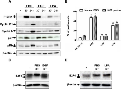 EGF neither induces E2F4 phosphorylation and nuclear translocation nor G1/S phase transition in HIEC. A. Subconfluent HIEC were serum-deprived during 36 h, stimulated with 5% FBS or 100 ng/ml EGF or 10 μM LPA for 30 min, 4 h or 24 h. Equal amounts of whole cell lysates were separated by SDS-PAGE, and proteins were analyzed by Western blotting with specific antibodies against phosphorylated ERK1/2, pRb, cyclin D1, cyclin A, p27 and β-actin. B. Cells were also fixed after 24 h stimulation with 3% paraformaldehyde in PBS and permeabilized with 0.1% Triton X-100 for subsequent immunofluorescence staining of E2F4 and Ki67. Cells with nuclear E2F4 and Ki67 were counted in 10 fields. Total cell number was determined using DAPI staining. Ratio of nuclear E2F4 expressing cells and Ki67 positive cells before/after serum, EGF or LPA stimulation are shown. Of note, each cell exhibiting nuclear E2F4 was positive for Ki67 staining. Results are the mean ± SEM of an experiment representative of 3. * Significant at p < 0.0001 compared to control cells (no serum) (Student's t test). C and D. HIEC were serum-deprived during 36 h, stimulated with 5% FBS or 100 ng/ml EGF or 10 μM LPA for 30 min. Cell lysates were separated by 7.5% SDS-PAGE and proteins were analyzed by Western blotting with specific antibodies against E2F4 and β-actin.