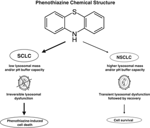 A working model for the lysosome-dependent usage of phenothiazines in human LC. Chemical structure common to all phenothiazines followed by hypothetical mechanisms of actions in LC is presented. Lower lysosomal mass and buffer capacity of the SCLC cells results in perturbations of lysosomal functions causing cell death while NSCLC cells with higher lysosomal mass and buffer capacity survive