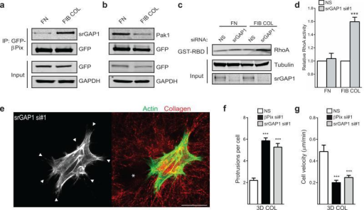 A collagen-specific GEF/GAP interaction between βPix and srGAP1 regulatessuppression of RhoA activity. (a) Immunoprecipitation ofGFP-βPix from βPix knockdown/rescue HFFs migrating on fibronectin(FN) versus fibrillar collagen (FIB COL) identifies a collagen-specific GEF/GAPinteraction between βPix and srGAP1. (b) Concurrentdecreased association of βPix with known effector Pak1 when migrating onfibrillar collagen. Blots are representative of three independent experiments.(c) RhoA activity determined by GST-RBD binding from NS andsrGAP1 siRNA-treated HFFs migrating on fibronectin or fibrillar collagenenvironments. (d) Quantification of bands again revealed a 40-60%collagen-specific increase in RhoA activity after loss of srGAP1 (mean ±s.e.m., n = 3 independent western blots, t-tests).(e) srGAP1 knockdown HFFs were cultured overnight in 3Dcollagen gels. Fixation and labeling with Alexa488-phaloidin revealed a rounded,protrusive (white arrowheads) morphology akin to βPix knockdown.Similarly, srGAP1 knockdown fibroblasts severely alter collagen fiberarrangement (red, reflection microscopy) adjacent to the cell. Hole in matrixmarked by white asterisk; scale bar, 25 μm. (f)Quantification of cell protrusions in cells treated with srGAP1 siRNA in 3Dcollagen. n = 36, 36, and 24 cells for NS, βPix si#1, and srGAP1 si#1were assessed across three independent experiments (mean ± s.e.m.,one-way ANOVA with Bonferroni multiple comparisons correction). (g)Quantification of cell velocity in cells treated with srGAP1 siRNA in 3Dcollagen. n = 25, 24, and 21 cells for NS, βPix si#1, and srGAP1 si#1were assessed across three independent experiments (mean ± s.e.m.,one-way ANOVA with Bonferroni multiple comparisons correction). Statisticalsource data can be found in Supplementary Table 2, *** P < 0.001.