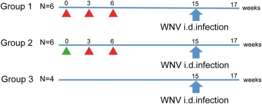 Study outline.Schematic representation of the study with two West Nile virus vaccine strategies. Group 1 received three immunizations with recombinant E protein adjuvanted with Matrix-M (red triangles) at indicated study weeks. Group 2 received one immunization of WNV-DermaVir (green triangle), followed by two immunizations with recombinant E protein adjuvanted with Matrix-M (red triangles). Nine weeks after the last immunization, all animals (including controls) were challenged intradermally with 2×105 TCID50 of WNV-Ita09. All animals were euthanized 14 days post-challenge (study week 17).
