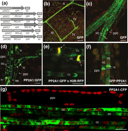 Imaging of PP2-A1:GFP and free GFP in the phloem cells of a four-week-old leaf.Visualization of soluble GFP or PP2-A1 tagged with GFP or CFP in leaves from pSUC2:PP2-A1:GFP, pSUC2:PP2-A1:GFP, pSUC2:PP2-A1:CFP and pSUC2:GFP plants. Images were obtained by CLSM and fluorescence is shown in false colors. GFP or CFP signals are shown in green, and chlorophyll autofluorescence is shown in red. GFP-tagged PP2-A1 is found in the cytosol and nucleus of the companion cells. (a) Constructs for the imaging of fluorescence-tagged PP2-A1 and PP2-A2. (b) Observation, in a treated leaf area, of soluble GFP produced under the control of the SUC2 promoter, in a pSUC2:GFP plant. GFP fluorescence is observed in veins of all orders (II, III and IV). (c) Localization of GFP fluorescence in a main vein from a pSUC2:GFP plant. The soluble GFP is found in companion cells and phloem parenchyma cells. (d) Localization of PP2-A1:GFP fluorescence to the junction of two veins from a pSUC2:PP2-A1:GFP plant. Bent companion cells (indicated by *) are typically found at such junctions. (e) Localization of PP2-A1:GFP in a vein from a pSUC2:PP2-A1:GFP plant. GFP is found only in the companion cells. This observation was made on a cross between the pSUC2:PP2-A1:GFP (in green) and p35S:H2B:RFP lines (in color red), so the nucleus is shown in yellow in the overlay, due to H2B:RFP and PP2-A1:GFP fluorescence. (f) Localization of GFP:PP2-A1 fluorescence in a minor vein from a pSUC2:GFP:PP2-A1 plant. (g) Localization of PP2-A1:CFP fluorescence (shown in green) in a minor vein from a pSUC2:PP2-A1:CFP plant. Typical distribution of plastids in the companion cells is observed. In the companion cells, the autofluorescent chloroplasts were aligned in a single file, whereas, in phloem parenchyma cells, the chloroplasts were located at the cell periphery. cc = companion cell; ppc = phloem parenchyma cell; se: sieve element. n: nucleus. Scale bar = b) 50 μm; (c)–(g) 10 μm.