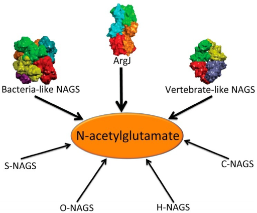 Enzymes that produce N-acetylglutamate. Bacteria-like N-acetylglutamate synthase (NAGS) include the classical bacterial NAGS and plant NAGS, which have hexameric architectures, represented by NAGS from Neisseria gonorrhoeae (PDB code 2R8V). Vertebrate-like NAGS include the bifunctional bacterial NAGS/K, mammalian NAGS, fungal NAGS and other vertebrate NAGS, which have tetrameric architectures, represented by the bifunctional NAGS/K from Maricaulis maris (PDB code 3S6G). These two groups of NAGS are typical NAGS enzymes in that they have both AAK and NAT domains and catalyze the formation of NAG from AcCoA and glutamate. They are the focus of this review. ArgJ is the mono- or bi-functional ornithine acetyltransferase that catalyzes the production of NAG from acetylornithine and glutamate (mono-) and AcCoA and glutamate (bi-). This enzyme is likely to be a heterotetramer, represented by argJ from Mycobacterium tuberculosis (PDB code 3IT4). Other atypical NAGSs exist in certain bacteria but no structures have been determined so far. The short version of NAGS (S-NAGS), for example argA from M. tuberculosis has only NAT domain. The NAGS encoded by the argO gene of Campylobacter jejuni (O-NAGS) consists of 146 amino acids, which broadly relate to the GNAT family. H-NAGS has been identified in Moritella abyss and Moritella profunda with argH fused to the N-terminal end of the NAT related domain. C-NAGS is a novel type of NAGS, recently identified in Corynebacterium glutamicum, whose sequence does not have any relationship to other known NAGS.