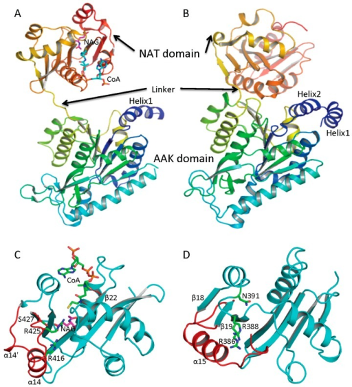 Ribbon diagram of subunit structures of ngNAGS and mmNAGS/K. (A) Subunit structure of ngNAGS in the absence of arginine. The structure consists of two domains, amino acid kinase (AAK) domain and N-acetyltransferase (NAT) domain, linked together by a flexible linker. No domain-domain interactions are observed within the subunit except via the linker; (B) Subunit structure of mmNAGS/K in the absence of arginine. The linker between AAK and NAT domains is shorter than that in ngNAGS. Some domain-domain interactions are observed. The structures are colored as a rainbow gradually changed from dark-blue for the N-terminus to red for the C-terminus; (C) Ribbon diagram of the NAT domain of ngNAGS. The bound CoA and NAG are shown in green and magenta sticks, respectively. Three residues, R416, R425 and S427, which are involved in binding NAG, are shown as green sticks; and (D) Ribbon diagram of NAT domain of mmNAGS/K. The last helix, α15, occupies the equivalent position of α14 of ngNAGS. Three residues, R386, R388 and N391, which are potentially involved in binding NAG, are shown as green sticks. The major differences in the NAT domains between ngNAGS and mmNAGS/K are colored in red.