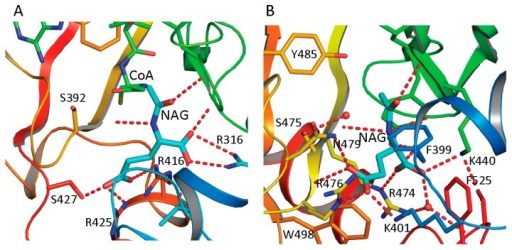 NAG binding site of ngNAGS (A) and hNAGS (B). The protein is shown in ribbon diagram. The bound NAG is shown as thick cyan sticks. The residues involved in binding NAG are shown as sticks. The hydrogen bonds are shown as red dashed lines. NAG binds to the protein in different conformations and using different sets of amino acid residues in ngNAGS and hNAGS.