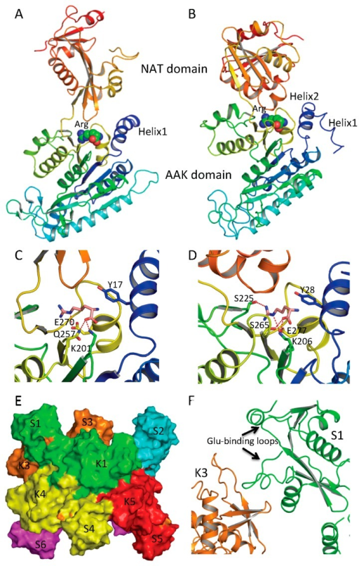 Arginine binding site and conformational changes. (A) Ribbon diagram of subunit structure of ngNAGS in the presence of arginine; (B) Ribbon diagram of subunit structure of mmNAGS/K in the presence of arginine. Arginine is shown in space filling model; (C) The details of arginine binding site of ngNAGS; (D) The details of arginine binding site of mmNAGS/K. The arginine and key residues involved in binding arginine are shown in sticks; (E) Simplified model of quaternary structure in the presence of arginine; and (F) The K3-S1 interface of ngNAGS in the presence of arginine.