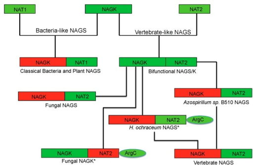 Proposed evolutionary path of the bacteria-like and vertebrate-like NAGS. The domains that have and have not enzymatic activity are colored green and red, respectively. The genes for fungal NAGK and Haliangium ochraceum NAGS (marked with *) encode a three-domain preprotein, whose mature proteins are formed likely by cleaving the argC domain.