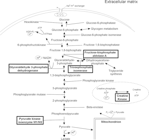 A schematic representing the metabolic pathways of the glycolysis and gluconeogenesis.The squared enzymatic proteins were all up-regulated in the CWP group compared to the healthy subjects except creatine kinase which was down-regulated. This could be explained by a higher dependence and therefore a higher strain on the glycolysis to provide energy for the skeletal muscle resulting in an accumulation of Pi, H+, pyruvate and lactate.
