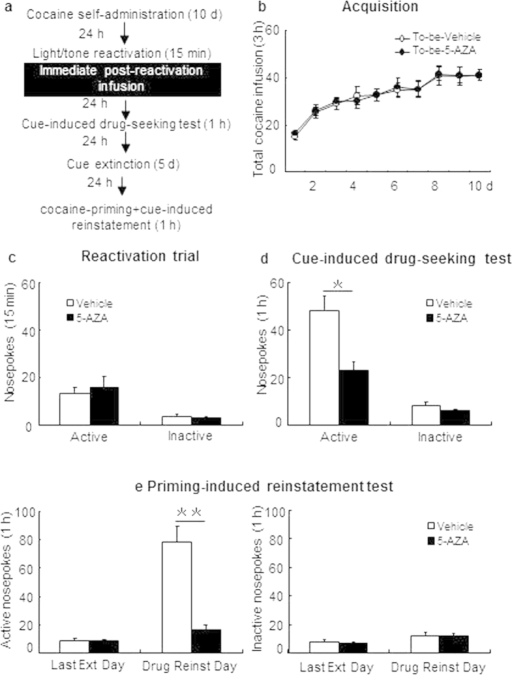 Immediate post-reactivation intra-BLA 5-AZA infusion decreases the subsequent cue-maintained cocaine seeking behaviors.(a) Schematic representation of the experimental procedure. (b) Total number of infusions across acquisition of cocaine self-administration. (c) Nose-poke responses during the reactivation trial. (d) Nose-poke responses during the conditioned reinforcement test. (e) Active (left) and inactive (right) nosepoke responses during the last day of extinction and the cocaine-priming + cue-induced reinstatement test. *Different from vehicle group, p < 0.05; **Different from vehicle group, p < 0.01.