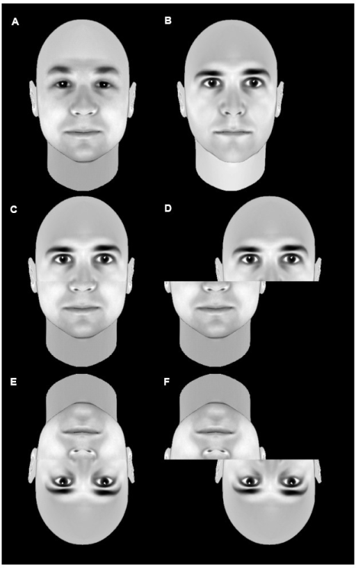 An example of the composite effect. The top row shows two unmodified faces (A,B). The middle row shows a stimulus composed of the top half of b and the bottom half of a in an aligned condition (D) or a misaligned condition (D). Recognition of the individual faces that make up the composite is significantly less accurate in the aligned composite (C) than the misaligned non-composite (D). This difference is less pronounced when the images are inverted (E,F). This is taken as evidence that faces are normally processed holistically, but that inversion disrupts this holistic processing.