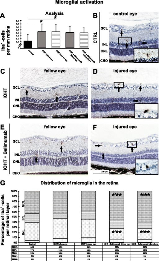 Activation of microglia and analysis of the distribution in the retina. a The activation of microglia was analyzed as Iba1-positive cells per mm retina in naso-temporal cross-sections of the eye. After iOHT, a significant increase of microglia occurred in fellow and injured eyes (both p < 0.05) compared with control eyes. No significant changes were observed for Belimumab-treated animals. Significant values are indicated as follows: *p < 0.05. b–f Representative images of retinal cross-sections (×20 magnification) show the numbers and distribution of Iba1-positive cells (arrows) in diverse retinal layers in control (CTRL, b), fellow and injured eyes of iOHT group (c and d, respectively), and fellow and injured eyes of iOHT + Belimumab group (e and f, respectively). Magnifications of representative microglia show a transformation from non-activated ramified phenotype with long ramifications in controls (b) to an activated, amoeboid phenotype in injured eyes (d, f). g Percentile distribution of microglia cells in retinal layers are given for all groups. Data were normalized in relation to the difference of the total number of microglia between the groups. Significant values are indicated as follows: *p < 0.05, **p < 0.01. Abbreviations: GCL ganglion cell layer, IPL inner plexiform layer, INL inner nuclear layer, OPL outer plexiform layer, ONL outer nuclear layer, CHO choroid. Scale bar represents 100 μm