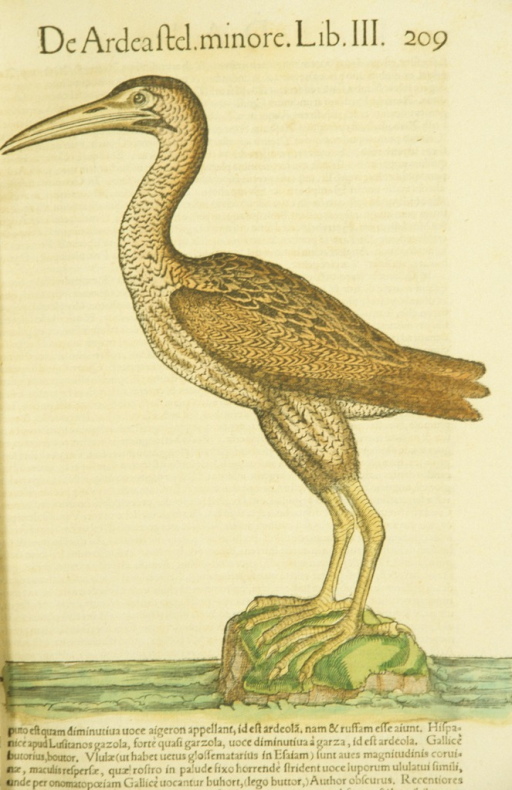 <p>Hand-colored woodcut of the bittern in profile.</p>