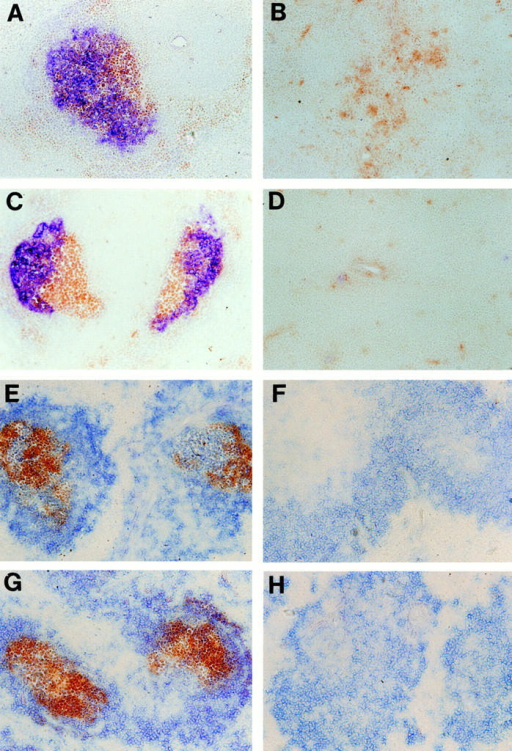 Restoration of organized FDC clusters and GC in LT-α–deficient mice after transplantation with normal BM. After BM transfer, mice were immunized intraperitoneally with 100 μl of PBS containing 10% sheep red blood cells. 10 d later, spleens were harvested and frozen sections were stained  with (A–D) anti-CR1 antibody 8C12 (blue) and PNA (brown), or (E–H) with horseradish peroxidase–anti-peroxidase complex (brown) and anti-B220 (blue). (A  and E) LT-α–deficient mice reconstituted with wild-type BM showed restored FDC clusters and an ability to form GC. (B and F) Conversely, wild-type  mice reconstituted with LT-α–deficient BM showed no detectable FDC clusters or formation of GC. Wild-type mice reconstituted with wild-type BM (C  and G) and LT-α–deficient mice reconstituted with LT-α–deficient BM (D and H) showed similar anti-CR1 staining and in vitro IC trapping compared to  wild-type mice and LT-α–deficient mice, respectively. Original magnification, ×100.