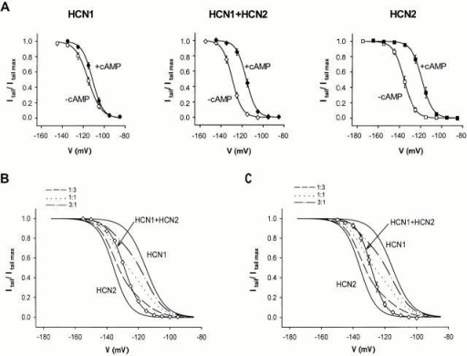 Steady-state activation curves determined in inside-out patches in the presence and absence of cAMP. (A) Average tail current activation curves for HCN1, HCN2, and coexpression of HCN1 and HCN2 in the presence (closed symbols) and absence (open symbols) of 10 μM cAMP. (left) HCN1 (7 patches); (middle) coexpression of HCN1 and HCN2 (9 patches); (right) HCN2 (10 patches). Solid lines show fit of Boltzmann relation. (B) The activation curve of Ih current generated by coexpression of HCN1 and HCN2 from a representative patch cannot be reproduced by linear sums of average HCN1 and HCN2 activation curves obtained from A. (solid lines) HCN2, HCN1 + HCN2 (open diamonds), and HCN1 from left to right. Dashed, dotted, and dash-dotted lines: linear sums of HCN1 and HCN2 activation curves at 1:3, 1:1, 3:1 (HCN1/HCN2) ratios. (C) The average Boltzmann activation curve for Ih currents generated by coexpression of HCN1 and HCN2 (open diamonds, 7 patches) cannot be reproduced by linear sums of average HCN1 and HCN2 activation curves. Bars indicate SEM.