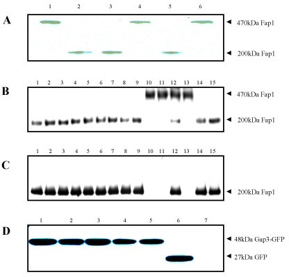 Western blot analysis of expression of Fap1 and Gap3 variants. Gap3 deletion mutants, Δ62–67 mutant (Lane 1), Δ144–157 mutant (Lane 2), wild type strain (Lane 3), gap3 allelic replacement mutant VT1619 (Lane 4), gap3 complemented strain VT1732 (Lane 5) and a control strain (VT1619 transformed with empty vector pVT1666) (Lane 6) were subjected to Western blot analysis with the use of MAb D10 (A). Expression of Fap1 by Gap3 site-directed mutants, V33R, F35H, N37I, P38R, S42L, N54I, R59L, P62G, D63V, L64R, P65R, I66N, L67T and L75S (Lanes 1–14) and wild type strain (Lane 15) probed with MAb D10 (B) and MAb F51 (C). Expression of Gap3-GFP by gap3 site-directed mutants, Gap3 L64R (Lane 1), P65R (Lane 2), I66N (Lane3), L67T (Lane4), Gap3 complemented strain VT1732 (Lane 5), control (VT1619 with empty vector pVT1666) (Lane 6) and gap3 mutant VT1619 (Lane 7) probed with anti-GFP MAb (C). Gap3-GFP fusion proteins migrate at 48 kDa; GFP protein migrates at 27 kDa.