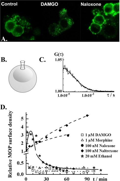 Effects of ethanol and opioid receptor agonists/antagonists on the MOP surface density in live PC12 cells.A. Confocal fluorescence images showing subcellular localization of MOP-EGFP (green) in PC12 cells under control conditions (left), upon 3 h treatment with DAMGO (1.0 µM; middle) or naloxone (100 nM; right). EGFP fluorescence was excited using the 488 nm line of the Ar laser. Fluorescence emitted in the range 505–540 nm was collected. B. Schematic drawing of a PC12 cell, showing the location of the observation volume element during FCS measurements. FCS measurements were always performed on the apical side of the plasma membrane. C. Typical autocorrelation curve for MOP-EGFP in not stimulated PC12 cells. FCS measurements were performed and analyzed as described in the Materials and Methods section. The dots give the experimental autocorelation curve; the smooth curve is a theoretical autocorrelation curve derived using a two-component model for free 2D-diffusion (eq. 3). Two fractions of MOP-EGFP were identified that could be distinguished by differences in lateral mobility, τD1 = (250±150) µs and τD2 = (2.5±1.5) ms. The majority of MOP-EGFP was characterized by fast mobility, f1 = (0.7±0.2). The amplitude of the autocorrelation curve is reciprocally proportional to the average number of MOP-EGFP molecules in the observation volume element (eq. 3). Autocorrelation curves are the basis for the calculation of relative changes in receptor surface densities as in the graph below. D. Relative changes in MOP-EGFP surface density under stimulation with selected drugs: ethanol (stars), naltrexone (diamonds), naloxone (dots), morphine (triangles) and DAMGO (squares). Selective ligands at MOP caused monotonous increase/decrease of MOP-EGFP surface density. Naloxone and naltrexone, acting as antagonists at MOP monotonously increased the MOP-EGFP surface density. The agonists DAMGO and morphine induced rapid internalization of MOP-EGFP, characterized by an internalization half-time t1/2,agonists = 2.5 min. Ethanol induced an abrupt transient increase in MOP-EGFP surface density, followed by partial internalization of MOP-EGFP, with an apparent internalization half-time of t1/2,ethanol = 25 min.