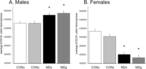Doublecortin (DCX) -positive neuron numbers on PND21.A significant treatment×sex interaction revealed a differential effect of MD on males versus females (F(3,48) = 8.04; p<0.0001). A. An increase in DCX+ cell number was found in deprived males (F(3,28) = 4.3, p = 0.018; post-hoc: CONU = CONS<MDS = MDG, at least p<0.05) and a decrease in deprived females (F(3,28) = 4.65, p = 0.013; post-hoc: CONU = CONS>MDS = MDG, at least p<0.05) when compared to controls. A significant effect of sex indicates a general lower amount of DCX+ cells in females (F(1,48) = 65.80; p<0.0001).