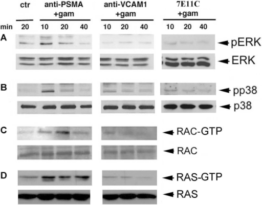 Kinetics of ERK1/21/2, p38, RAC 1 and RAS phosphorylation induced by PSMA cross-linking.LNCaP cells were left untreated or subjected to PSMA cross-linking for the indicated times at 37°C. An anti-VCAM-1 mAb was used as the isotype matched control. Panels A and B: p38 and ERK1/2 activation was assessed in crude lysates. Equal amounts (20 µg) of total proteins were boiled in sample buffer and separated by SDS-PAGE. Following immunoblotting with an anti-phospho-p38 or anti-phospho-ERK1/2 mAb, immunoreactive bands were visualized by using horseradish peroxidase-conjugated secondary antibody and the ECL system. Panels C and D: RAC1 and RAS activation was evaluated by a specific assay as described in the Material and Methods section. Bound active GTP-RAC and GTP-RAS molecules were analyzed by Western blotting using an anti-RAC1 or anti-Ras mAb and visualized as above. Total amount of ERK1/2, p38, RAC1 and RAS in crude lysates are shown as loading control at the bottom of each gel. Results are representative of one of three independent experiments.