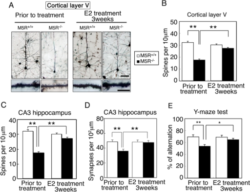 E2 restores normal morphology in cortical and hippocampal pyramidal neurons from male M5R−/− mice.(A) Morphologic changes of cortical pyramidal neurons (layer V) from male M5R−/− mice without or after chronic E2 treatment (3 weeks). Golgi staining revealed that cortical pyramidal neurons from male M5R−/− mice showed clear signs of atrophy of the basal-dendritic tree and apical dendrites. E2 treated male M5R−/− mice showed a similar morphology of spines in the basal-dendritic tree and apical dendrites as M5R+/+ control mice. (B) Number of spines per 10 µm length of dendritic segment of cortical pyramidal neurons (layer V) from male M5R−/− and M5R+/+ mice, and E2 treated male M5R−/− and M5R+/+ mice. N = 40 dendritic segments from 5 animals per group. (C) Number of spines per 10 µm length of dendritic segment of CA3 hippocampal pyramidal neurons from male M5R−/− and M5R+/+ mice, and E2 treated male M5R−/− and M5R+/+ mice. Hippocampal neurons from male M5R−/− mice exhibited a significantly reduced number of dendritic spines. E2 administration also restored the number of dendritic spines in the CA3 hippocampus. N = 20 dendritic segments from 5 animals per group. Values are means±SEM. **p<0.001. (D) The number of synapses per 102 µm was counted in the CA3 hippocampus by analyzing electron microscope images. A total of 100–110 sections of 70 nm electron microscope images were counted for each sample. Values are means±SEM. **p<0.001. (E) Performance of male M5R+/+ and M5R−/− mice prior to and after chronic E2 treatment in a Y-maze spatial-memory test. Chronic E2 tablet (0.1 mg / 21 days release) treatment completely rescues cerebrovascular and cognitive deficits in male M5R−/− mice. All studies were carried out with 3 month-old male M5R+/+ (n = 16) and M5R−/− (n = 14) mice. Values are means±SEM. *p<0.05, **p<0.001.