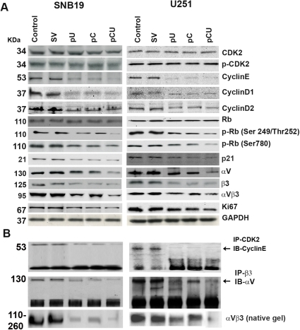 Cathepsin B and uPAR knockdown decreases Cdk2 activity and the expression of αVβ3 integrin.A. Cell lysates were collected from SNB19 and U251 after transfection with SV, pU, pC or pCU. Western blot analysis of 50 µg of total cell lysates was performed to check the expression of cyclin D1, cyclin D2, Cdk2, cyclin E, Rb, p-Rb, p21, αV, β3, αVβ3 and Ki67. GAPDH was used as a loading control. B. Total lysates from the untreated control and SV, pU, pC or pCU-transfected cells were immunoprecipitated for Cdk2 and β3 individually and then immunoblotted for cyclin E and αV, respectively. The figure also shows the expression of αVβ3 integrin on native gel.