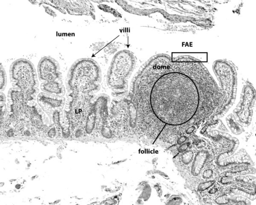 Follicles and PP are the inductive site for the mucosal immune response. Micrograph of a human ileal lymphoid follicle stained with hematoxylin & eosin. The follicle is covered by M-cells which form the follicle-associated epithelium (FAE). Underneath the dome area which holds dendritic cells, is a B cell follicle, surrounded by a T cell-rich zone. Adjacent to the follicle are microvilli. LP = lamina propria.