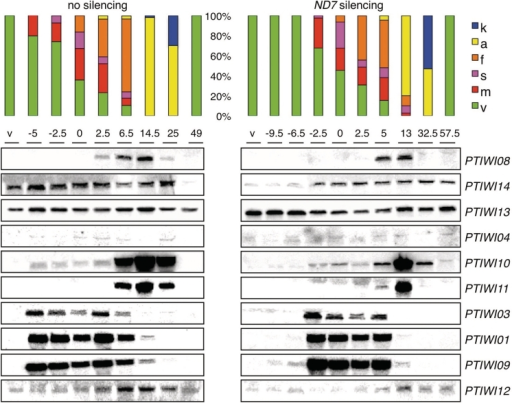 Northern blot analysis of expression profiles during the life cycle. Expression profiles in vegetative cells and at different time points (h) of autogamy time courses are compared between a wild-type culture grown on Klebsiella (no silencing) and a culture submitted to dsRNA-induced silencing of the ND7 gene. The t = 0 time points are arbitrarily defined as the first samples in which at least 50% of the cells had started meiosis. The last samples in both series were obtained after refeeding post-autogamous cells enough for 2–3 divisions. Histograms show the fraction of cells in each cytological stage (same colour code as in Figure 1). The probes used for the different genes are the same segments as used for dsRNA production in silencing experiments (see Supplementary Table S1A).
