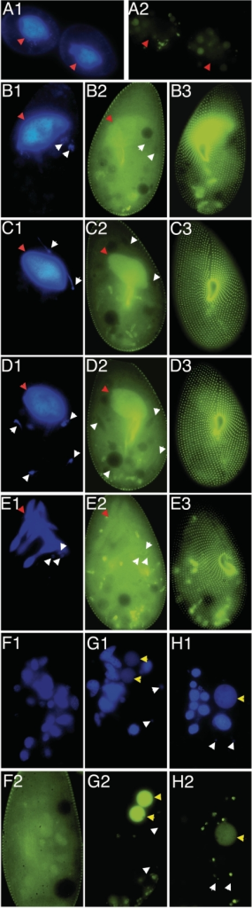 Expression and dynamic localization pattern of a Ptiwi09-GFP fusion during autogamy. Pictures numbered 1 show DAPI staining; pictures numbered 2 and 3 show GFP fluorescence within the cell body and at the cell surface, respectively. Arrowheads indicate the different types of nuclei: red, old MAC before fragmentation; white, MICs and their meiotic products; yellow, new MAC anlagen. A, vegetative cell during division; B, beginning of meiosis I; C, meiosis I; D, beginning of meiosis II; E, skein formation; F, fragmentation of the old MAC; G, new MAC development; H, karyonide after the first vegetative division.