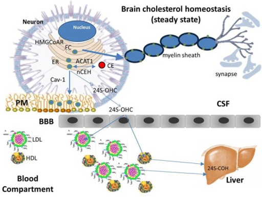 Cholesterol homeostasis (steady state). Differently from the most tissues that take up cholesterol from circulating plasma lipoproteins through the classic mechanism of the low density lipoprotein receptor (LDLR), due to the BBB, brain does not have direct access to cholesterol carried by plasma lipoproteins and therefore, it meets its cholesterol needs through de novo synthesis mainly in glial cells, with only a small amount of cholesterol synthesized in neurons. Glial cells package neo-synthesized cholesterol into Apo E—containing lipoprotein particles, which in turn are secreted into the CSF through the ATP-binding cassette transporter 1 (ABCA1). Apo E-containing lipoproteins are then taken up by neurons and FC released is transported for subsequent metabolism and trafficking to other intracellular sites. Neurons keep constant their cholesterol concentrations through the same homeostatic mechanisms regulating the intracellular cholesterol metabolism in peripheral tissues: cholesterol synthesized in the ER, as well as that released by Apo E—containing lipoprotein catabolism, moves to PMs, in part, by interacting with Cav-1. Once the capacity of PMs and other compartments to absorb cholesterol is exceeded, cholesterol is transported back to the ER, where, in a small part it is esterified by ACAT and accumulated as lipid droplets. The large part of excess cholesterol, however, is converted into 24S-OHC, crosses the BBB, enters the plasma, and is delivered to the liver for excretion into bile.
