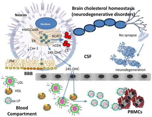 Cholesterol homeostasis (neurodegenerative disorders). An imbalance of one or more of finely regulated homeostatic mechanisms that lead to even modest changes in ER-FC pool in neurons can cause a serious and sometimes fatal neurologic disorder. Namely, if a reduction in the transport of cholesterol between ER and PM occurs as a consequence of genetic and/or environmental factors, neuronal ER-FC increases. This increase may cause the activation of ACAT1 leading to an increased CE synthesis while reducing the distribution of FC in raft-domains. If these alterations persist over time the consequences may be: rafts disassembly, demyelination, alterations in synapse formation and function, in other words, neurodegeneration. Beside ACAT1 activation, an increase in ER cholesterol pool of neurons may also activate the CYP46A1 thereby enhancing the levels of circulating 24S-OHC. This is an oxygenated derivative of cholesterol able to cause lipoprotein oxidation (ox-LP). With a mechanism similar to that described for atherosclerosis, ox-Lp might be recognized by scavenger receptors (SR) on the surface of white blood cells, which in turn may be engorged with CE and become foam cells.