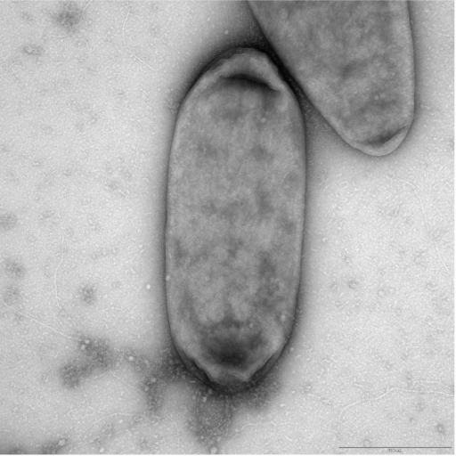 Transmission electron microscopy of L. crescens BT-1. Negative stain. Scale bar represents 500 nm.