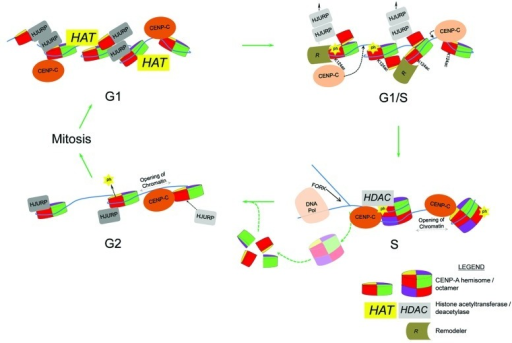 Figure 2. A model depicting dynamic CENP-A-kinetochore protein interactions, CENP-A histone modifications and nucleosomal interconversion across the cell cycle. Lightened HJURP and CENP-C proteins signify eviction and repositioning, respectively. K124ac = CENP-A acetylated at K124 and ph = potential phosphorylation of CENP-A S68.
