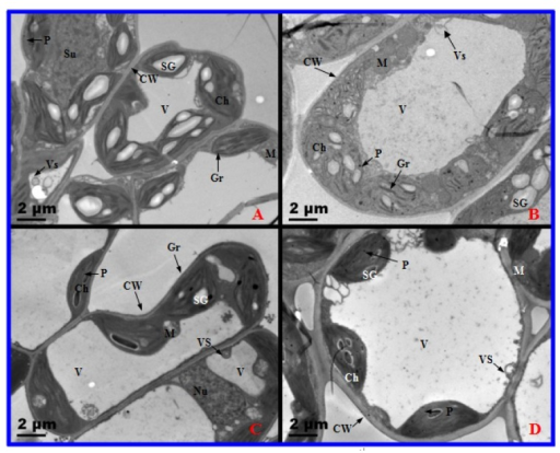 Transmission electron micrographs of diploid (2×) and tetraploid (4×) Robinia pseudoacacia mesophyll cells after one day and 10 days of salt treatment. (A) 0 day, 2×; (B) 0 day, 4×; (C) 10 days, 2×; (D) 10 days, 4×. CW, cell wall; Ch, chloroplast; M, mitochondrion; Nu, nucleolus; P, plastoglobule; SG, starch granule; Gr, granum; V, vacuole; Vs, small vesicle.
