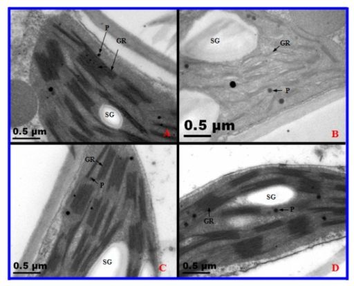 Transmission electron microscopy observations of chloroplasts in diploid (2×) and tetraploid (4×) Robinia pseudoacacia after one day and 10 days of salt treatment. (A) 0 day, 2×; (B) 10 days, 2×; (C) 0 day, 4×; (D) 10 days, 4×. Gr, granum; thylakoid (Th); P, plastoglobule; SG, starch grain.