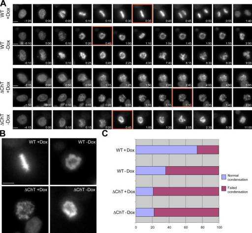 The ChT domain of Topo IIαis necessary for chromosome condensation and segregation in mitosis. (A and B) Still images taken from digital time-lapse imaging of live cells after depletion of endogenous Topo IIα and induced with doxycycline to express mCherry–Topo IIα or mCherry–Topo IIα ΔChT. Cells were assayed after a double thymidine synchrony and release protocol in conjunction with shRNA-mediated depletion of the endogenous Topo IIα and DNA observed via imaging of Hoechst. Red boxed regions are enlarged in B to highlight the differences in metaphase chromatin morphology. Frames were taken at 5-min intervals. Time is indicated (hours:minutes) in each movie frame. Bars, 10 µm. (C) Distribution of phenotypes seen in live single cells described in A and B. Induction of mCherry–Topo IIα rescues chromosome condensation and segregation defects, whereas Topo IIα ΔChT fails to rescue. WT − Dox, n = 96; WT + Dox, n = 100; ΔChT − Dox, n = 61; ΔChT + Dox, n = 82.