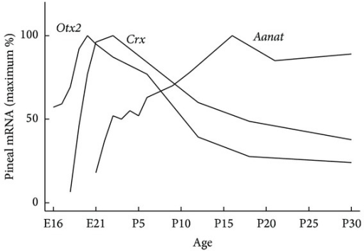 Appearance of Otx2, Crx, and Aanat transcripts in the developing rat pineal gland. Otx2 and Crx expression peak around birth [14], at which time Aanat expression is initiated [19]. The spatial and temporal correlation between peaks in expression of Otx2 and Crx and the start of Aanat expression supports that the OTX2 and CRX homeodomain transcription factors induce Aanat transcription [7]. E, embryonic day; P, postnatal day.
