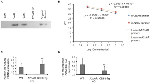 Generation of transgenic mice expressing A2bAR in macrophages only.A. Genomic analysis by PCR of CD68-hA2bAR transgene in founder lines 1, 2, and 3 (Fo # 1, 2, 3) compared to A2bAR KO mice. Line 2 was used for the remainder of the studies based on expression analysis shown in panels c,d. B. Determination of primer efficiency. The amplification efficiency of human A2bAR (hA2bAR) and mouse A2bAR (mA2bAR) TaqMan primers was tested using the CT slope method. The target template was diluted over a log scale and CT values were determined by qPCR. A plot of CT versus log cDNA concentration is shown for hA2bAR and mA2bAR primers. Amplification efficiency (Ex) is calculated using the slope of the graph in the following equation: Ex = 10 (-1/slope) – 1. The calculated efficiencies are 1.18 and 1.03 for mA2bAR and hA2bAR, respectively. C. Human A2bAR and mouse A2bAR mRNA expression was measured by qPCR in Kupffer cells isolated from mice at 12 weeks of age (n = 5 WT, 6 A2bAR KO, 6 CD68-Tg; ns = not statistically different from WT). D. Visceral (epididymal) adipose tissue macrophages were sorted via flow cytometry-based markers (see Methods) and subjected to qPCR of A2bAR mRNA. Data are averages ± SD. Relative mRNA expression was determined using the ΔΔCT method and were normalized to 18s rRNA values. Data are averages ± SD. *Student two-tail t-test assuming equal variance was found significant only when p-value <0.05.