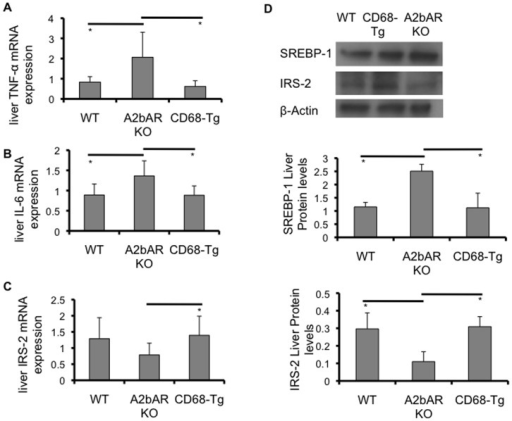 Effect of restoration of macrophage A2bAR on liver.Liver was collected from WT, A2bAR KO, and CD68-Tg mice after 16 weeks of HFD as described in the methods. Relative mRNA expression was determined using the ΔΔCT method with normalization to 18s rRNA. A. mRNA expression of TNF-α in liver. A2bAR KO (n = 5) vs WT (n = 7) p-value  = 0.0271; A2bAR KO vs CD68-Tg (n = 6) p-value  = 0.0210. B. mRNA expression of IL-6 in liver. A2bAR KO (n = 8) vs WT (n = 7) p-value  = 0.0159; A2bAR KO vs CD68-Tg (n = 8) p-value  = 0.0080. C. mRNA expression of IRS-2 in liver. CD68-Tg (n = 7) vs A2bAR KO (n = 8) p-value  = 0.0300. D. Western blot analysis of liver; one representative (of 3 sets) WT, CD68-Tg and A2bAR KO group shown at 15 minutes post-insulin injection, following 16 weeks of HFD. Levels of mature SREBP-1 (68 kDa), and IRS-2 (185 kDa), were probed by Western blot analysis, using β-actin (43 kDa) as loading control. Quantification of Western Blot results was performed with Image J software (http://rsb.info.nih.gov/ij/) with normalization to β-actin. WT to A2bAR KO: IRS-2 p-value  = 0.0092, SREBP-1 p-value  = 0.0154; CD68-Tg to A2bAR KO: IRS-2 p-value  = 0.0247, SREBP-1 p-value  = 0.0170. Data are averages ± SD. *Student two-tail t-test assuming equal variance was found significant only when p-value <0.05.